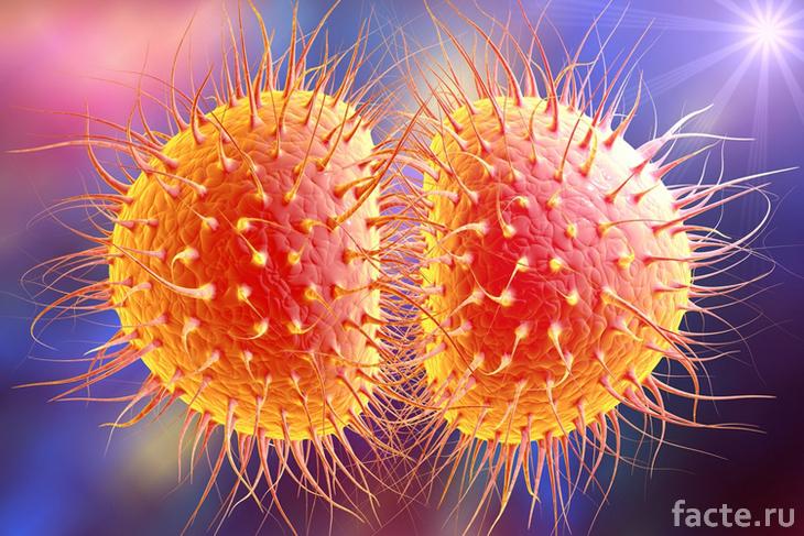 Бактерия гонореи