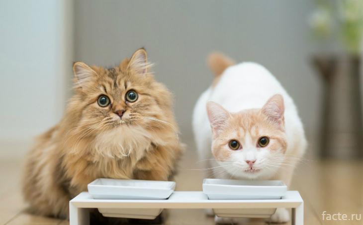 Кошки едят из миски