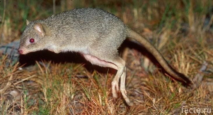 Кенгуровая крыса в прыжке