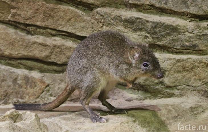 Кенгуровая крыса на камне