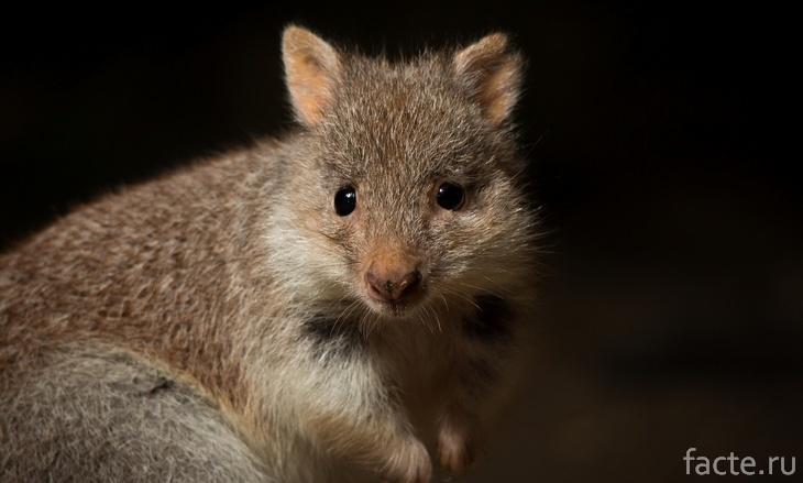 Пушистая кенгуровая крыса
