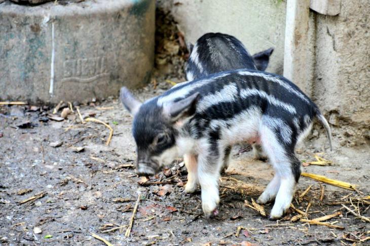 меховые свиньи