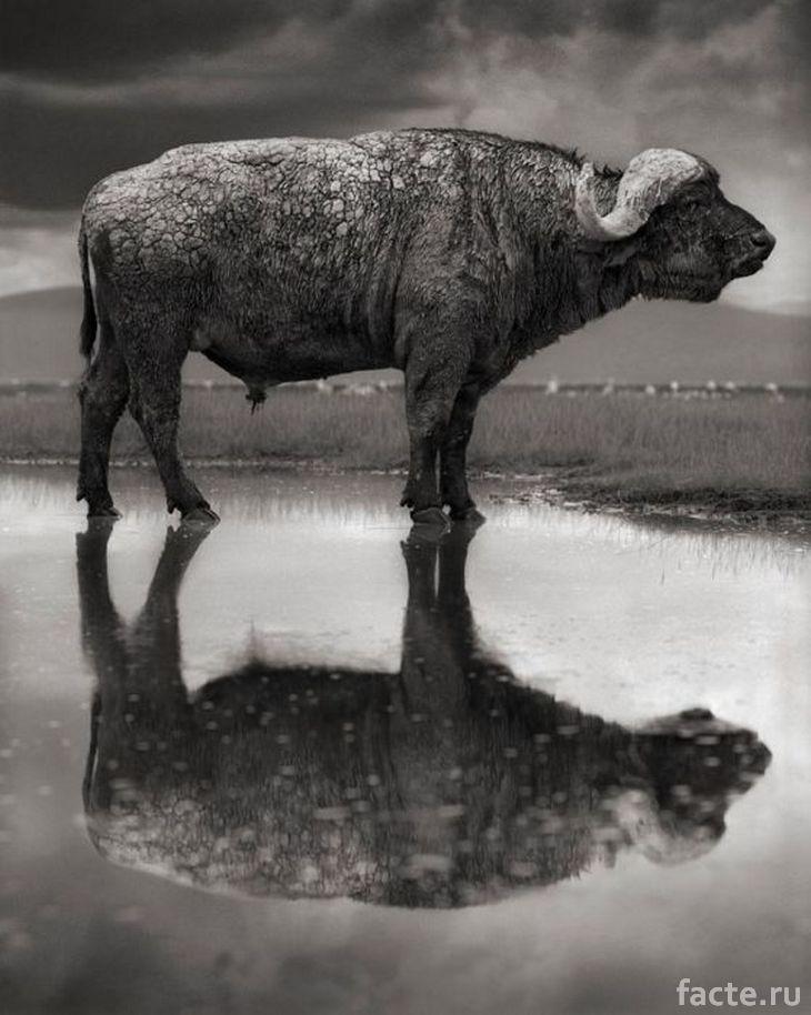 Окаменелый буйвол