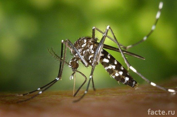 Новые виды насекомых. Полосатый комар