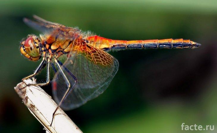 Новые виды насекомых. Оранжевая стрекоза