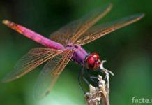 Новые виды насекомых. Розовая стрекоза