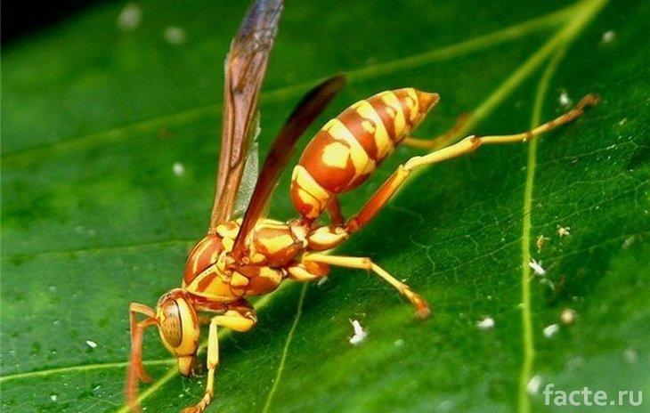 Новые виды насекомых. Оранжевая оса