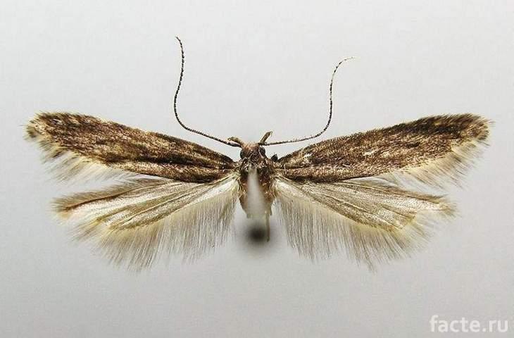 Новые виды насекомых. Бабочка с пушистыми крыльями