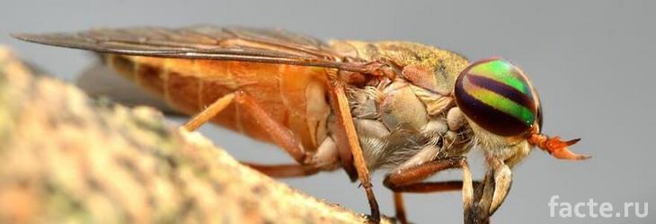 Новые виды насекомых. Оранжевая муха