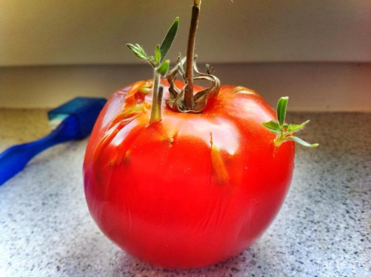 помидор пророс