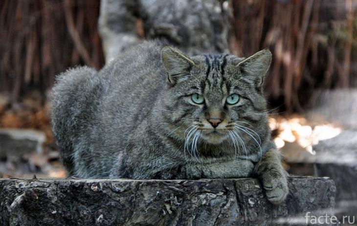 Дикая кошка
