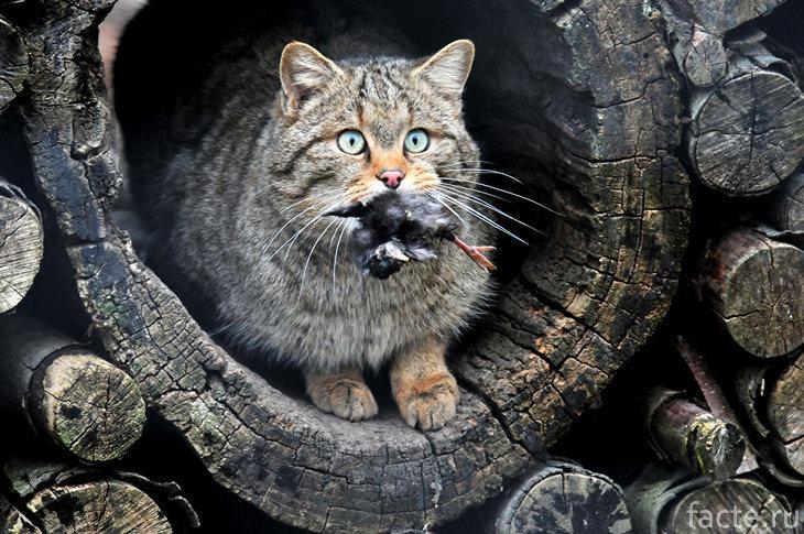 Дикая кошка с добычей