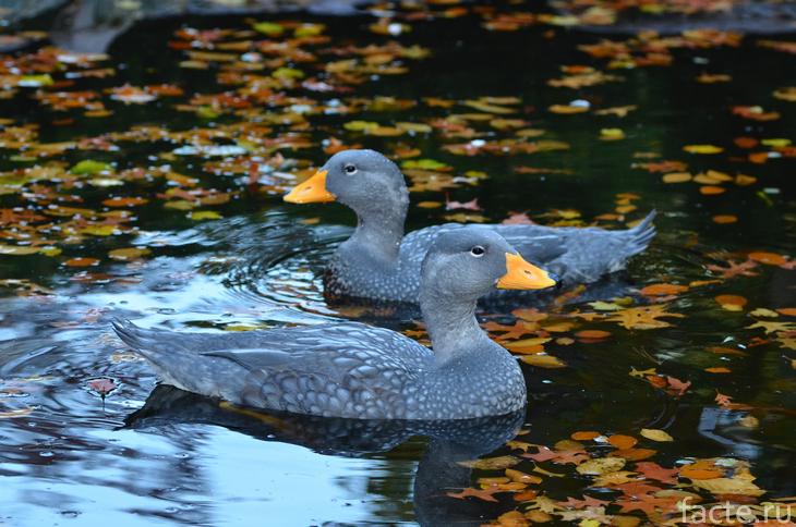 Утки-пароходы в пруду с листьями
