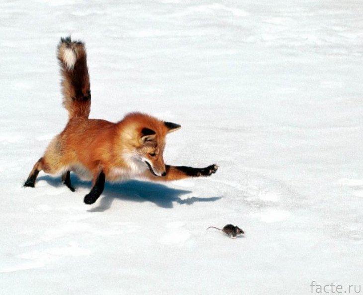 Лиса ловит мышь