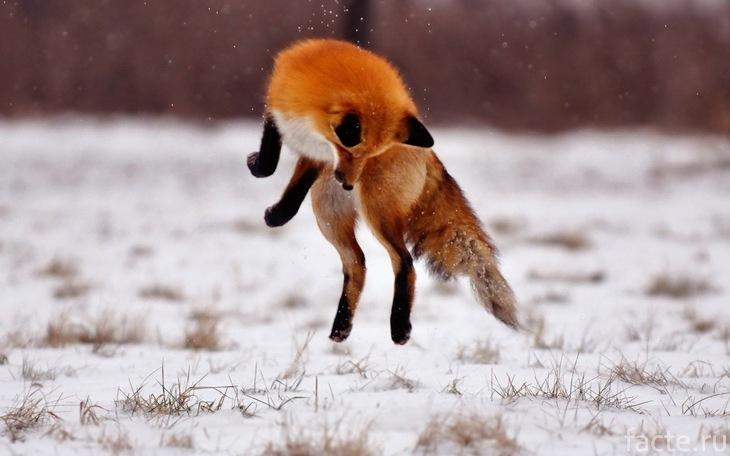 Лиса в прыжке