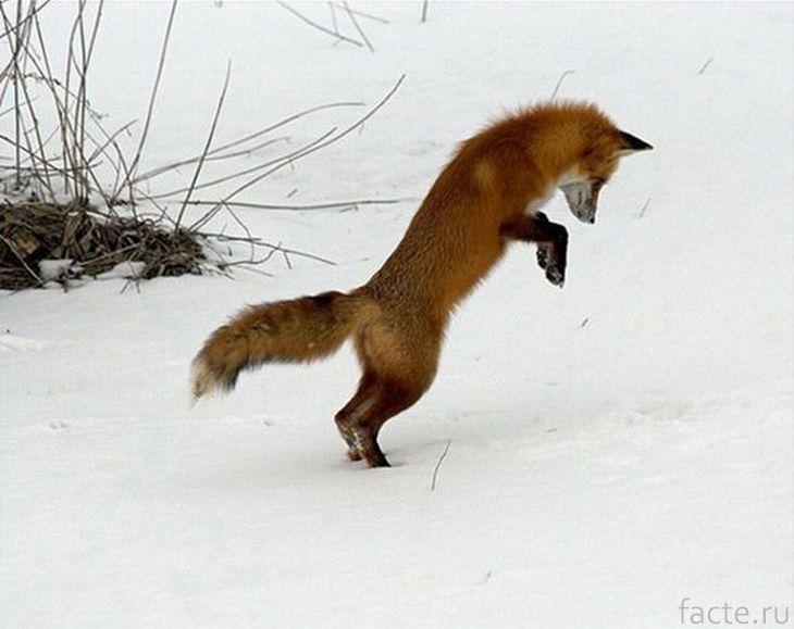 Лиса охотится
