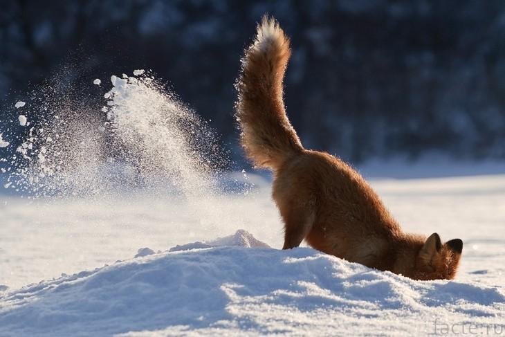 Лиса зарывается в снег