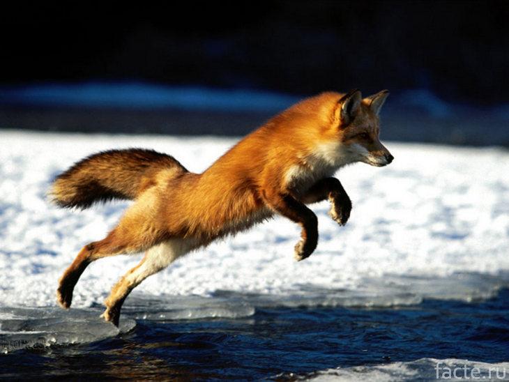 Лиса прыгает через ручей
