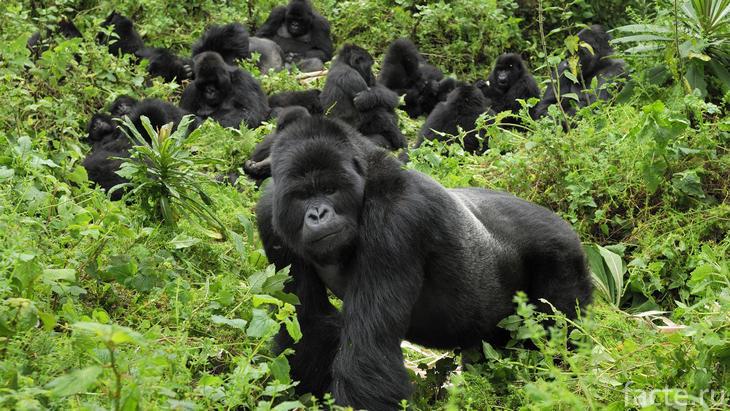 Горная горилла и ее сородичи
