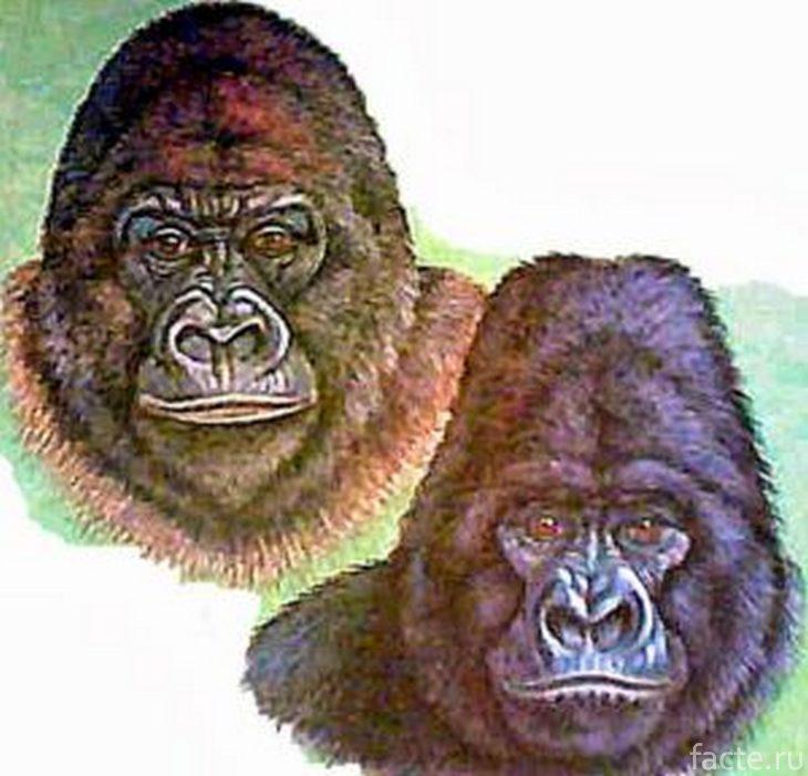 Виды горилл