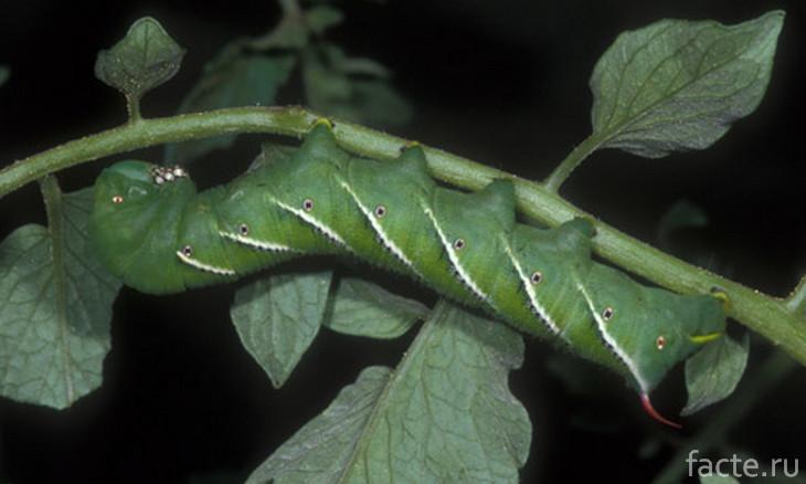 Гусеница табачного бражника