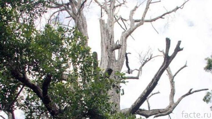 Дерево Афо