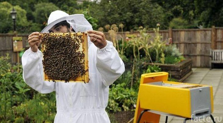 Домашние пчелы в улье