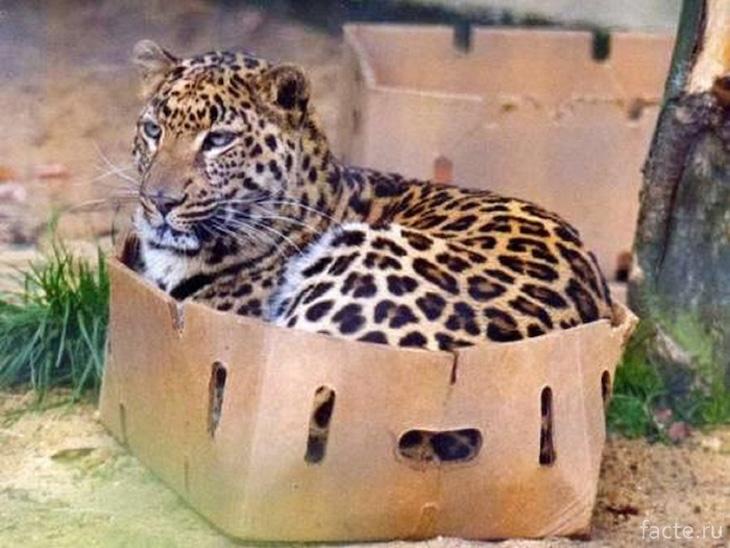 Даже очень больше котики любят коробки