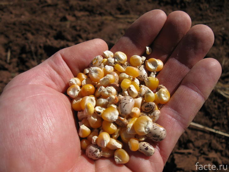Кукуруза и бобы