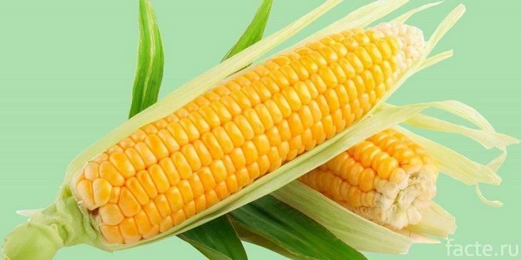 Початки кукурузы на бирюзовом фоне