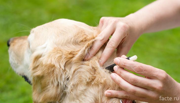 Из собаки вытаскивают клеща