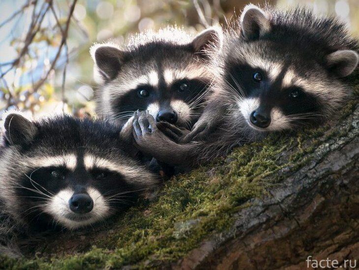Три енота