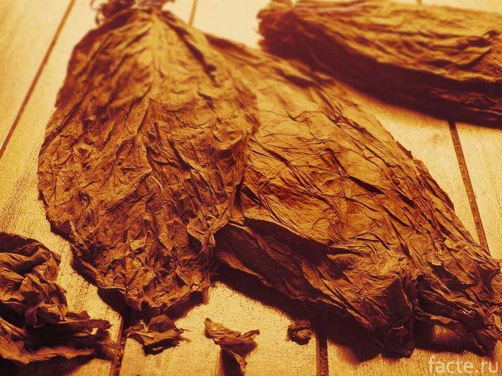 Крупные листья табака
