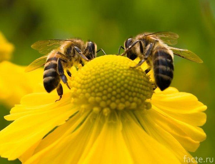 Две пчелы на цветке