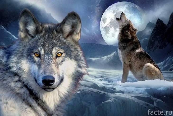 Волки и луна