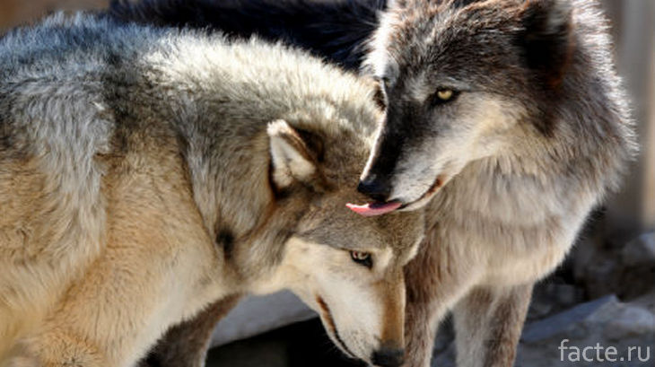 Трогательная пара волков