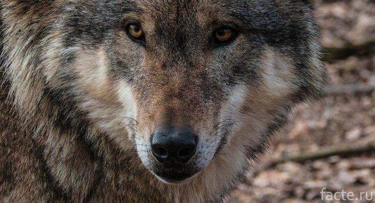 Волк крупным планом