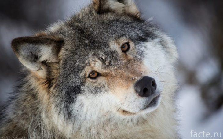 Симпатичный волк