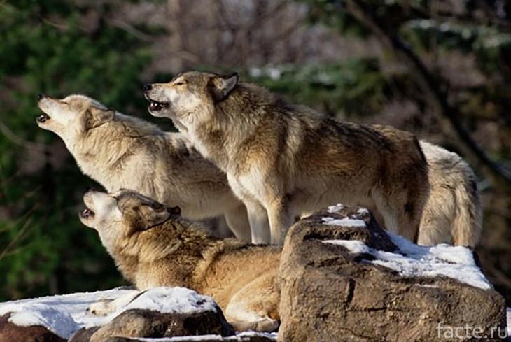 Три волка