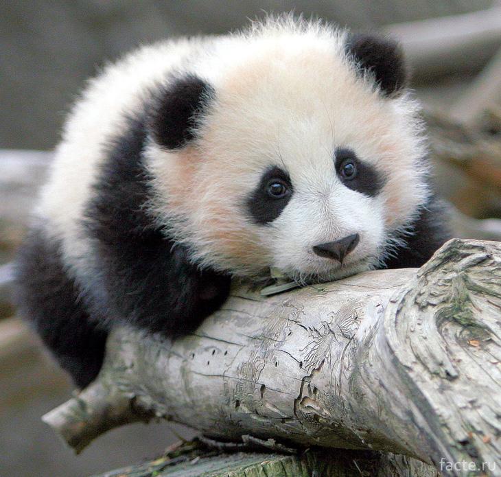 Большой бамбуковый медведь