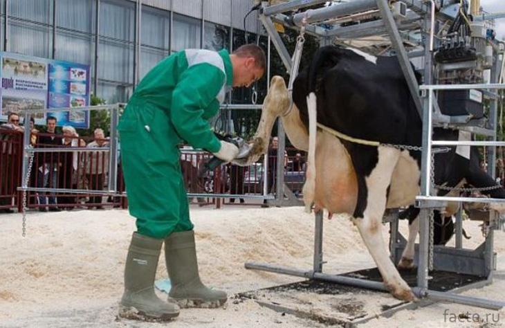 Педикюрщик коров