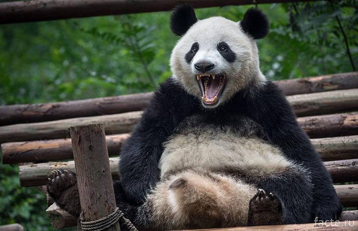 Панда зубастая