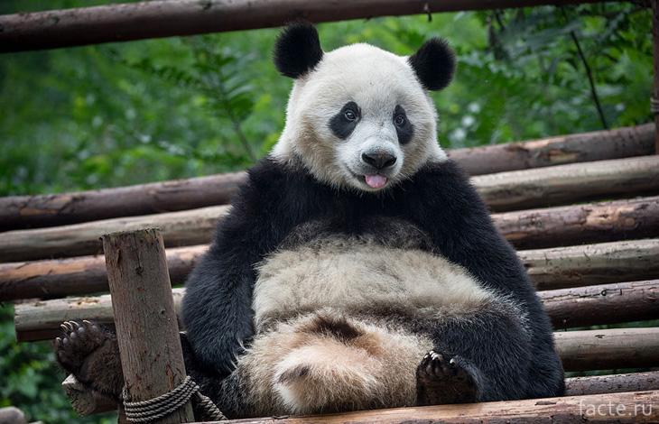 Панда мимишная
