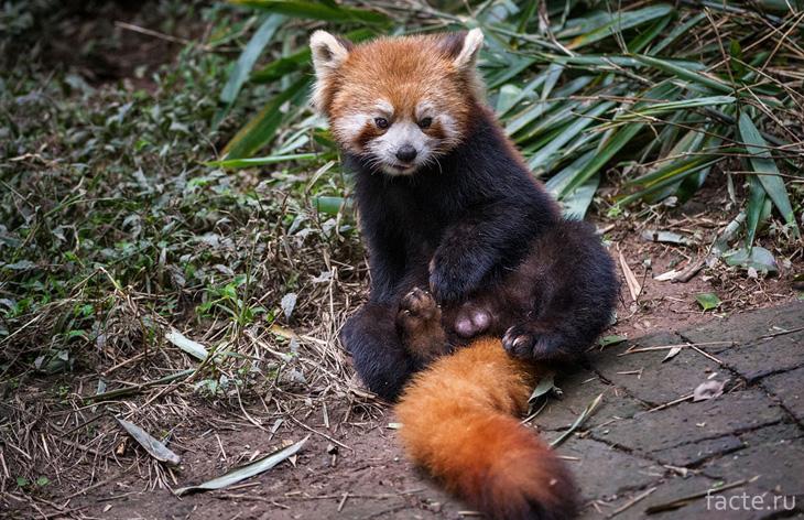 Панда красная маленькая