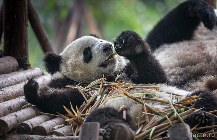 Панда грызет бамбук