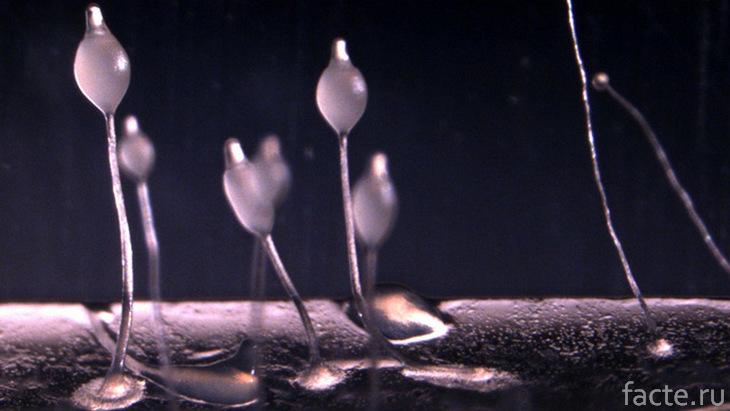 Амебы Dictyostelium discoideum