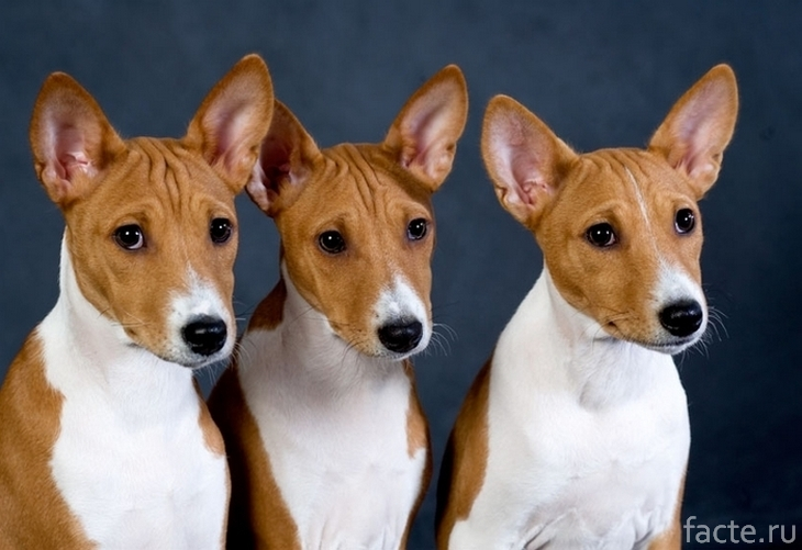 Собаки породы басенджи
