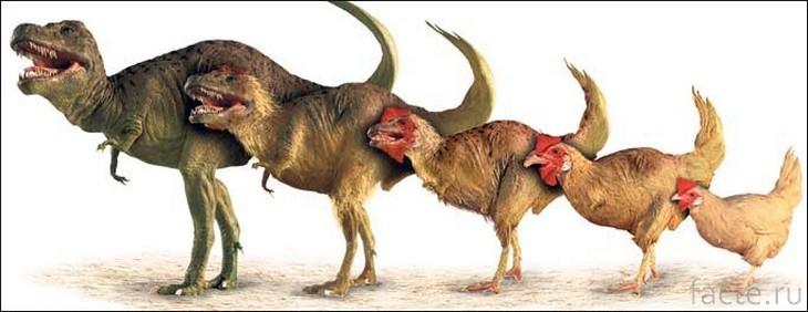 Эволюция курицы