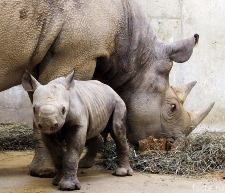 Носорог с детенышем