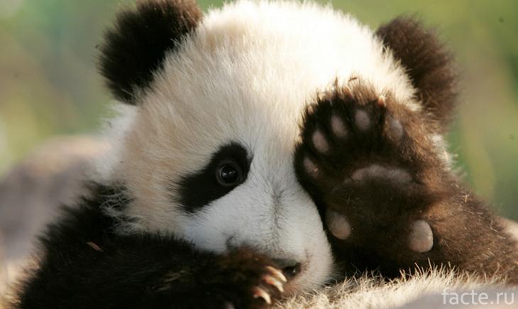 Панда машет лапкой